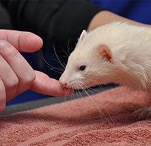 Ferret Care at Pet Care Veterinary Hospital