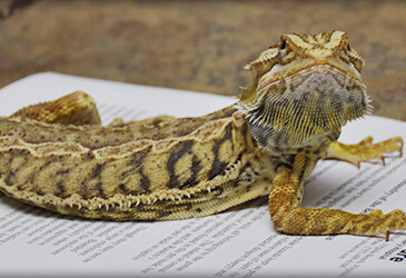 Bearded Dragon Veterinarian at Pet Care Virginia Beach