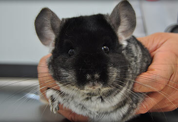 Chinchillas Veterinarian Virginia Beach