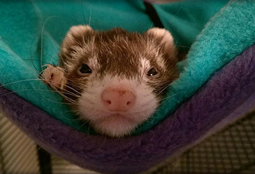 Ferret Veterinarian Virginia Beach