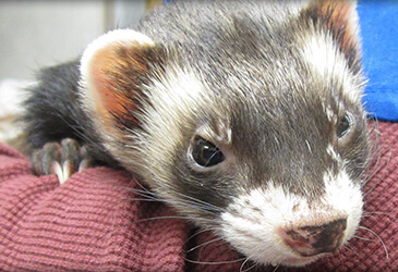 Ferret Veterinarian at Pet Care Virginia Beach
