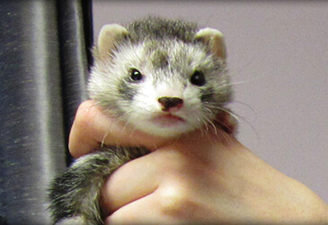 Ferret wellness exams at Pet Care Virginia Beach