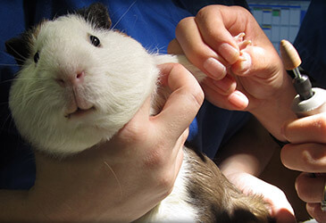 Guinea Pig Veterinarian at Pet Care Virginia Beach