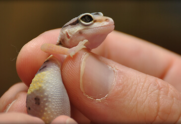 Gecko Veterinarian at Pet Care Virginia Beach
