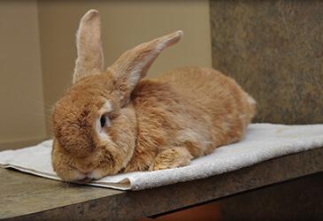 Rabbit illness specialists at Pet Care Virginia Beach