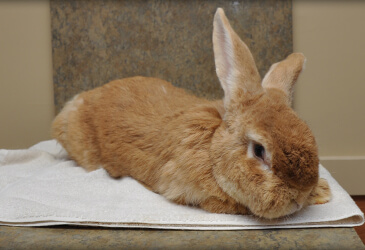 Rabbit Veterinarian at Pet Care Virginia Beach