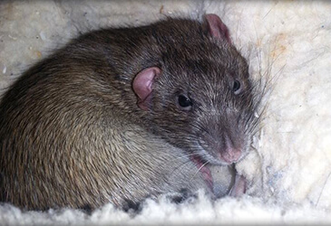 Rats Veterinarian Virginia Beach