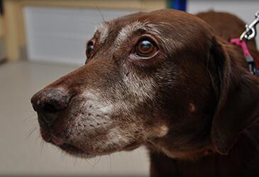 Senior dog wellness care at Pet Care Virginia Beach