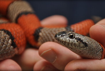 Boa Constrictors and Pythons Veterinarian Virginia Beach